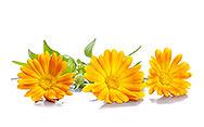 Ringelblumenblätter