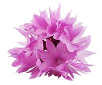 Kornblume rosa